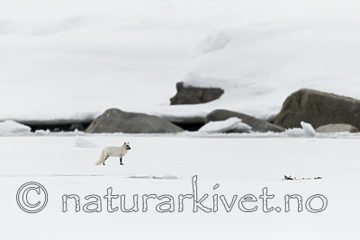 KA_140612_3809 / Vulpes lagopus / Fjellrev