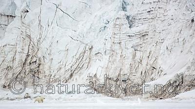KA_140613_4143 / Ursus maritimus / Isbjørn