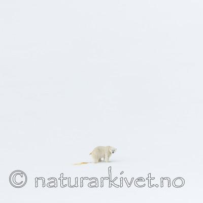 KA_140613_4157 / Ursus maritimus / Isbjørn