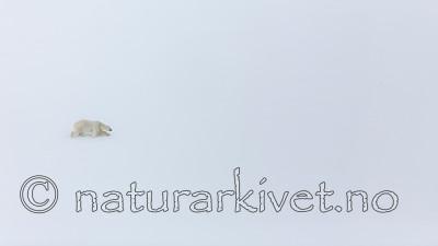 KA_140613_4179 / Ursus maritimus / Isbjørn