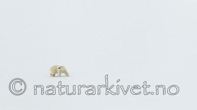 KA_140613_4190 / Ursus maritimus / Isbjørn