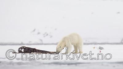 KA_140614_4662 / Larus hyperboreus / Polarmåke <br /> Ursus maritimus / Isbjørn