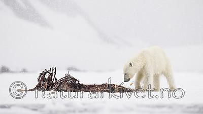 KA_140614_4666 / Larus hyperboreus / Polarmåke <br /> Ursus maritimus / Isbjørn
