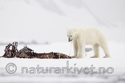 KA_140614_4668 / Ursus maritimus / Isbjørn