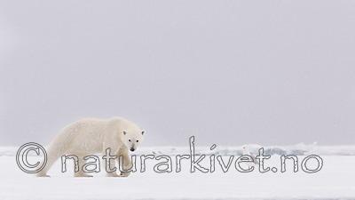 KA_140614_4677 / Larus hyperboreus / Polarmåke <br /> Ursus maritimus / Isbjørn