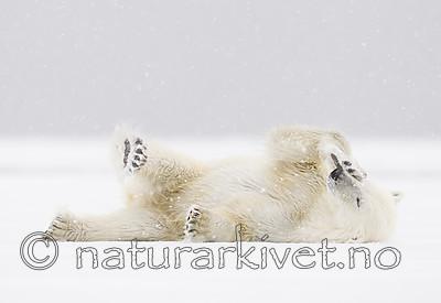 KA_140614_4689 / Ursus maritimus / Isbjørn