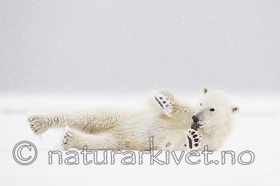 KA_140614_4690 / Ursus maritimus / Isbjørn