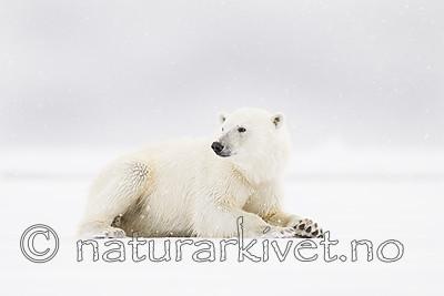 KA_140614_4691 / Ursus maritimus / Isbjørn
