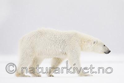 KA_140614_4695 / Ursus maritimus / Isbjørn