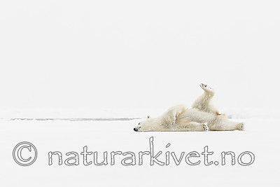KA_140614_4709 / Ursus maritimus / Isbjørn