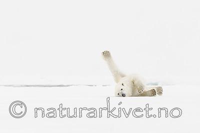 KA_140614_4712 / Ursus maritimus / Isbjørn
