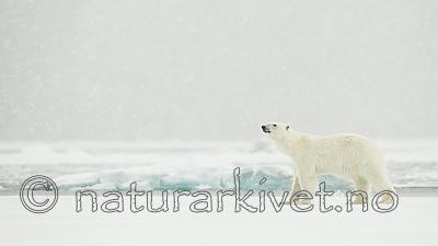 KA_140614_4741 / Ursus maritimus / Isbjørn