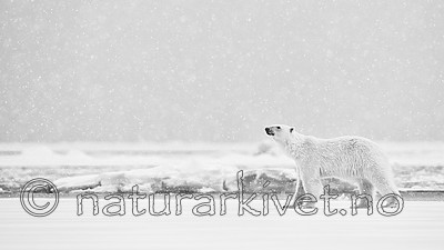 KA_140614_4741_sh / Ursus maritimus / Isbjørn