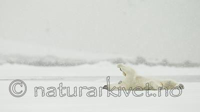 KA_140614_4746 / Ursus maritimus / Isbjørn