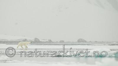KA_140614_4747 / Ursus maritimus / Isbjørn