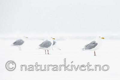 KA_140614_4755 / Larus hyperboreus / Polarmåke