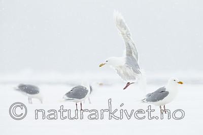 KA_140614_4757 / Larus hyperboreus / Polarmåke