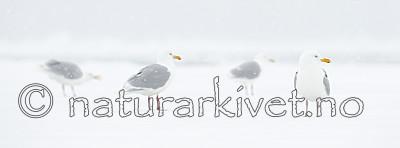 KA_140614_4758 / Larus hyperboreus / Polarmåke