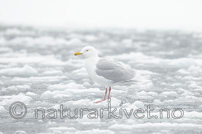 KA_140614_4761 / Larus hyperboreus / Polarmåke