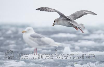 KA_140614_4766 / Fulmarus glacialis / Havhest <br /> Larus hyperboreus / Polarmåke