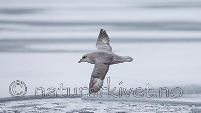 KA_140614_4771 / Fulmarus glacialis / Havhest