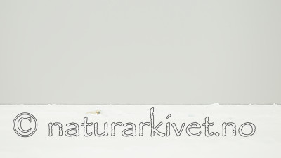 KA_140614_4776 / Ursus maritimus / Isbjørn