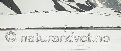KA_140614_4779 / Ursus maritimus / Isbjørn
