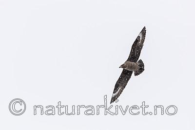 KA_140614_4781 / Stercorarius skua / Storjo