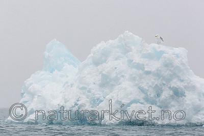 KA_140614_4812 / Larus hyperboreus / Polarmåke