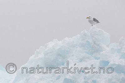 KA_140614_4817 / Larus hyperboreus / Polarmåke