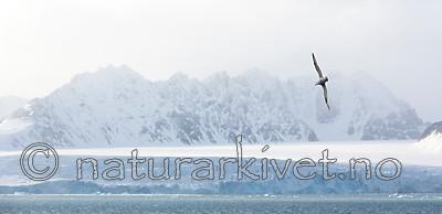 KA_140615_5033 / Fulmarus glacialis / Havhest