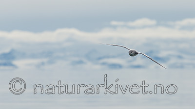 KA_140616_5430 / Fulmarus glacialis / Havhest