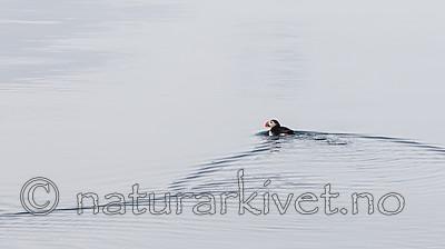 KA_140616_5440 / Fratercula arctica / Lunde