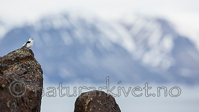 KA_140616_5448 / Plectrophenax nivalis / Snøspurv