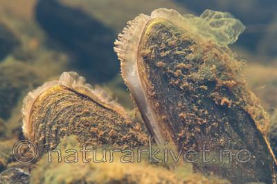 KA_140625_1297 / Margaritifera margaritifera / Elvemusling