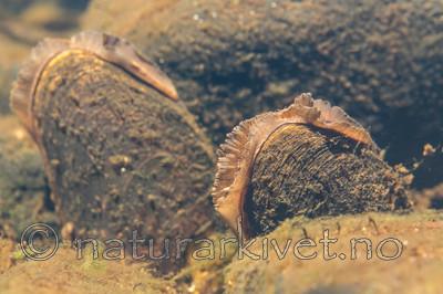 KA_140625_1298 / Margaritifera margaritifera / Elvemusling