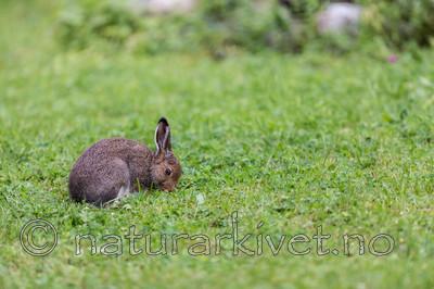 KA_140824_1575 / Lepus timidus / Hare