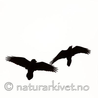 KA_140928_2969 / Corvus corax / Ravn