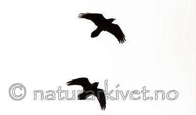 KA_140928_2970 / Corvus corax / Ravn