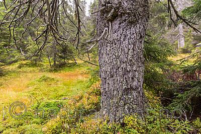 KA_141006_4348 / Picea abies / Gran