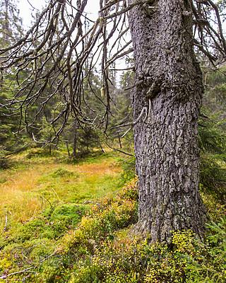 KA_141006_4351 / Picea abies / Gran