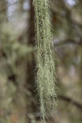 KA_141021_3632 / Usnea longissima / Huldrestry