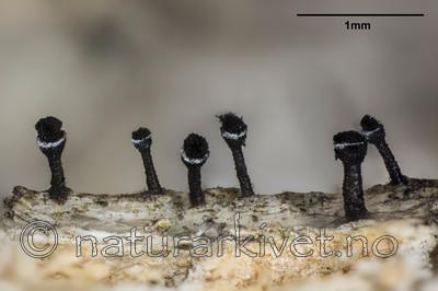 KA_141120_glaucellum_mm / Calicium glaucellum / Hvitringnål