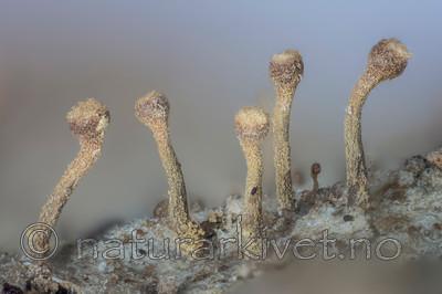 KA_141122_coniophaea / Sclerophora coniophaea / Rustdoggnål