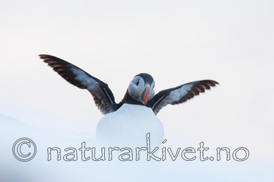KA_150406_114 / Fratercula arctica / Lunde