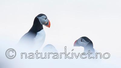 KA_150406_115 / Fratercula arctica / Lunde