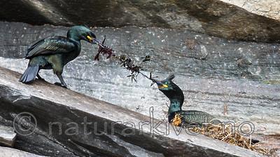 KA_150406_17 / Phalacrocorax aristotelis / Toppskarv