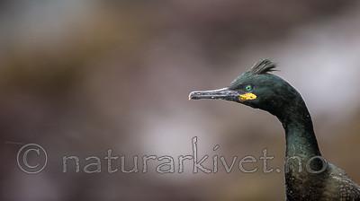 KA_150406_2 / Phalacrocorax aristotelis / Toppskarv