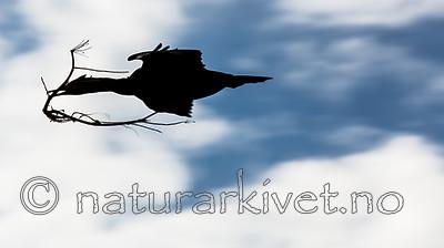 KA_150406_77 / Phalacrocorax aristotelis / Toppskarv