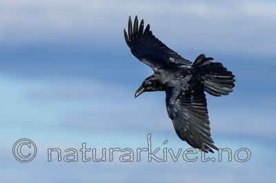 KA_150407_1 / Corvus corax / Ravn